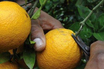 Centenares de concordienses no pueden ingresar a cosechar a Corrientes y el gremio apunta a los productores