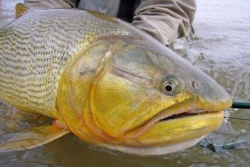 Un dorado del río Uruguay con 21 tipos distintos de plaguicidas en su cuerpo
