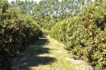 La falta de inversión hace que el sector citrícola tenga un 20% menos de producción