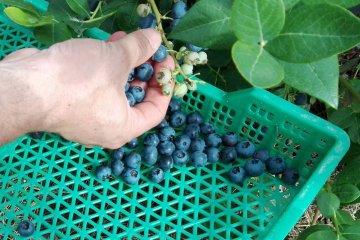 El sector arandanero respalda el planteo de la diputada Cresto para mantener el IFE a los cosecheros