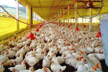 Piden extremar medias por un foco de gripe aviar en Chile