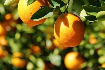 La crisis en el citrus se agrava y los productores hablan de varios factores