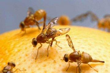 Comenzarán con la fumigación para prevenir la mosca de los frutos