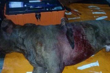 Investigan el ataque a un pitbull que apareció con un cuchillo clavado en el cuerpo