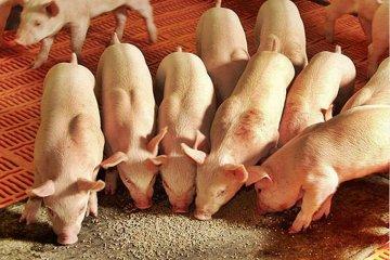 Dos alumnas presentarán un proyecto para alimentar cerdos con residuos orgánicos urbanos