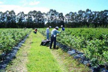 Entre Ríos lidera la producción y exportación de arándanos y nuez pecán