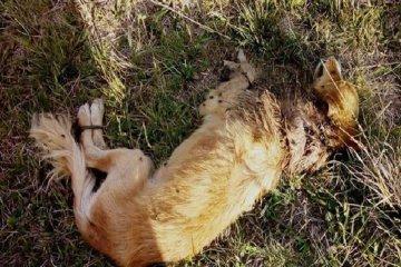 Abandonaron a un perro con las patas atadas y al borde de la muerte