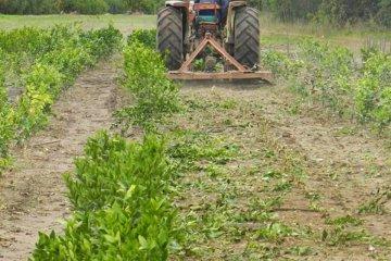 Destruyeron otro vivero citrícola a cielo abierto en la región de Salto Grande