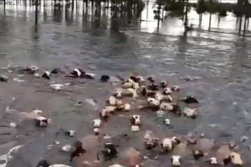 Una entidad ruralista difundió un video con vacas que se ahogan en el sur de Corrientes