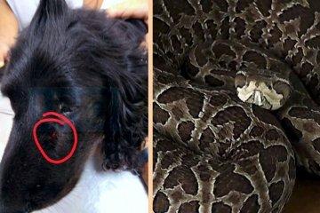 """Se recupera """"Xira"""" la perra antinarcóticos de Feliciano atacada por una yarará"""