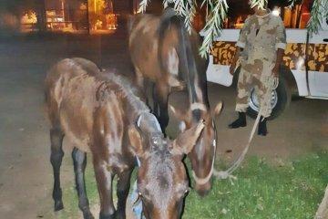 La policía pudo recuperar dos equinos robados