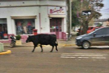 INSÓLITO: Misterio por una vaca