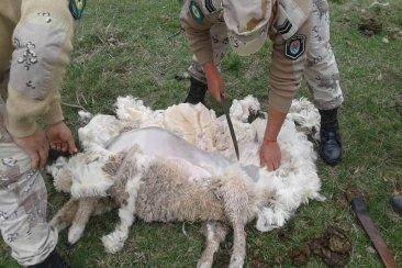 Ingresó a una propiedad privada y mató a golpes a cinco corderos