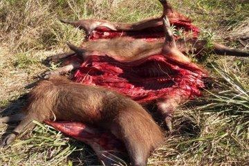 Los sorprendieron trasladando carpinchos faenados y elementos de caza