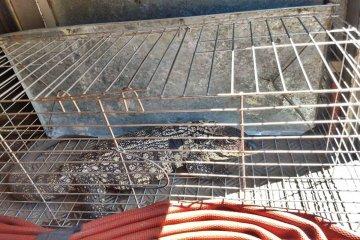 Un lagarto fue capturado cuando se paseaba en plena vía pública