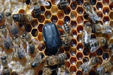 Lanzan una capacitación apícola sobre el pequeño escarabajo de la colmena