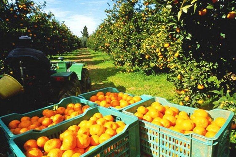 En las góndolas las naranjas cuestan casi trece veces más de lo que recibe el productor