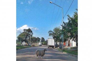 INSÓLITO: Una oveja sorprendió a todos