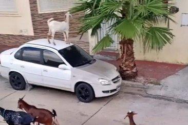 VIDEO: Un rebaño de cabras saltando sobre los autos estacionados en calle Alvear