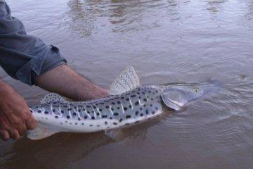 Uno de los monitoreos de la CARU analizará el grado de contaminantes en peces del río Uruguay