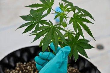 Diputados aprobó la regulación del autocultivo de cannabis con fines terapéuticos