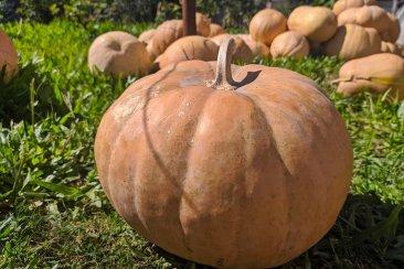 En una huerta familiar cosecharon zapallos de hasta 15 kilos